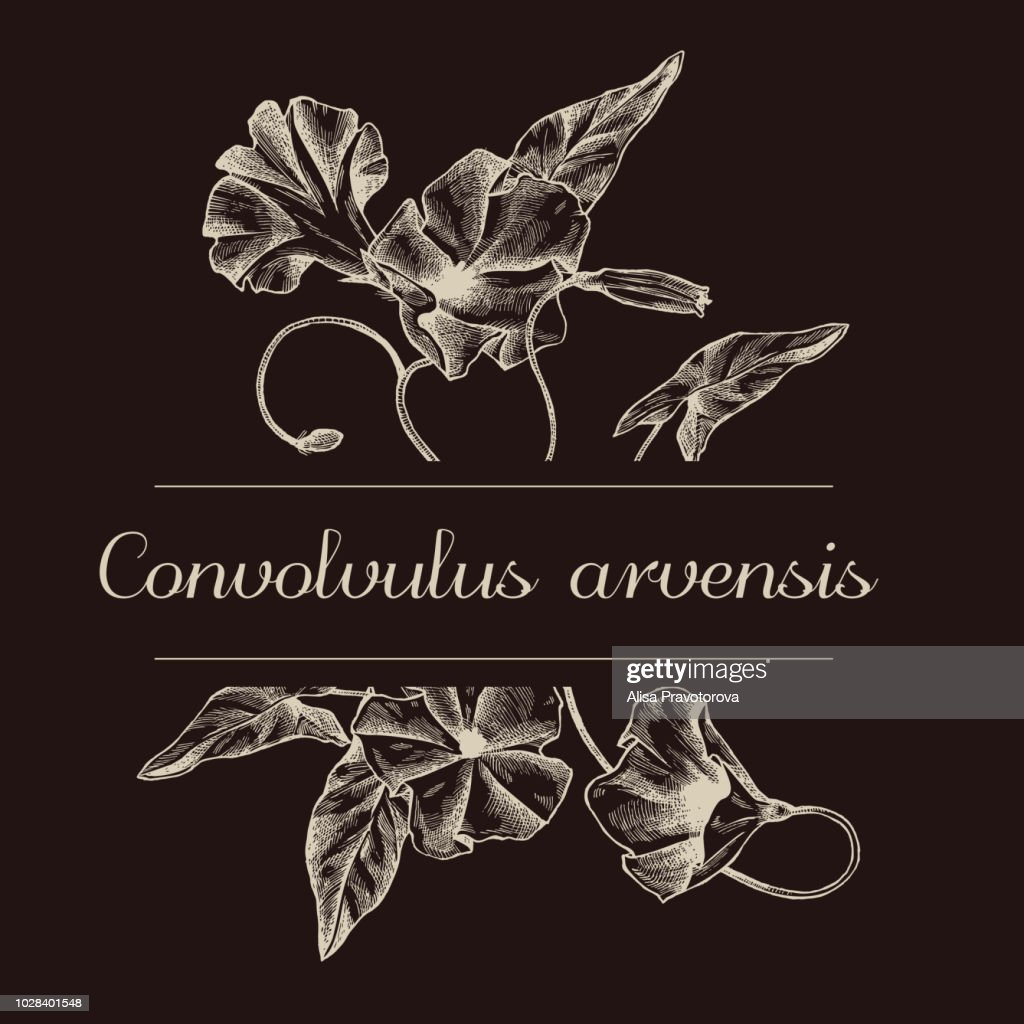 Hand drawn design with field bindweed isolated on chalkboard
