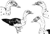 hand drawn duck vector set on white background.
