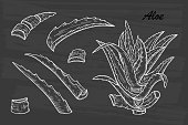 Hand drawn engraving style Aloe Vera plant set. Alternative medicine, treatment and body care with aloe vera ingredients. Vector illustration