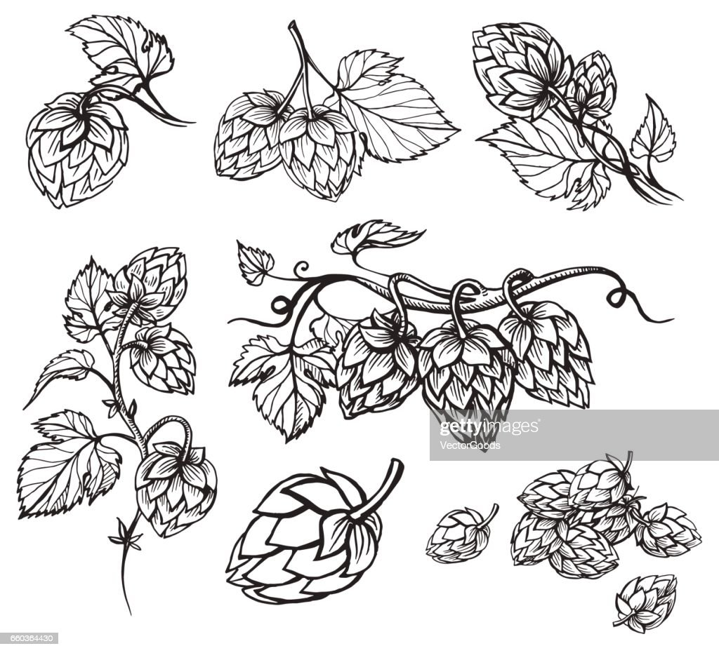 Hand drawn engraving style Hops set.