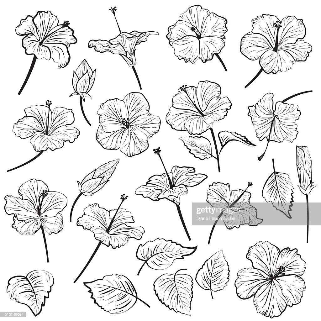 Hand Drawn Illustration Of Hibiscus Flowers Vector Art Getty Images