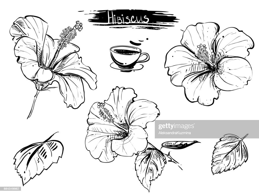 Hand drawn illustration set of hibiscus flowers, branch, leaf.