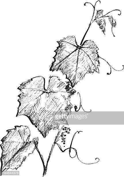 Traube branch