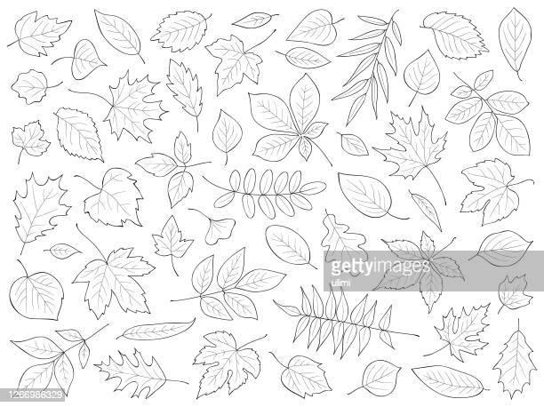 hand drawn leaves - maple leaf stock illustrations