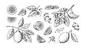 Hand drawn lemon. Vintage lime orange or lemon fruits blossom and branches for juice label. Vector outline food sketch