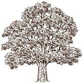 Hand drawn oak tree illustration