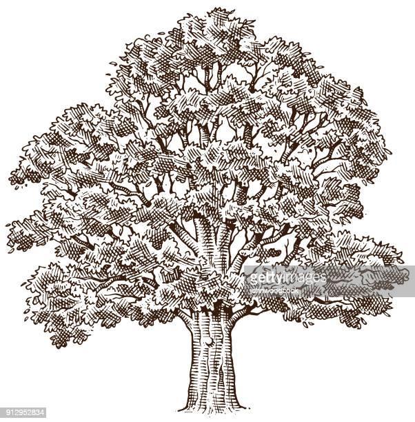 60 Top Oak Tree Stock Illustrations Clip Art Cartoons