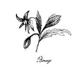Hand Drawn of Borage Seeds on White Background