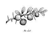 Hand Drawn of Kei Apple Fruits on White Background