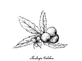 Hand Drawn of Muntingia Calabura Fruits on White Background