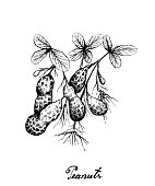 Hand Drawn of Peanuts Plant on White Background