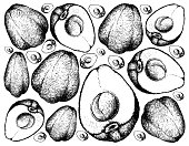 Hand Drawn of Pomerac or Malay Apple on White Background