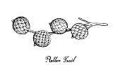 Hand Drawn of Rattan Fruits on White Background