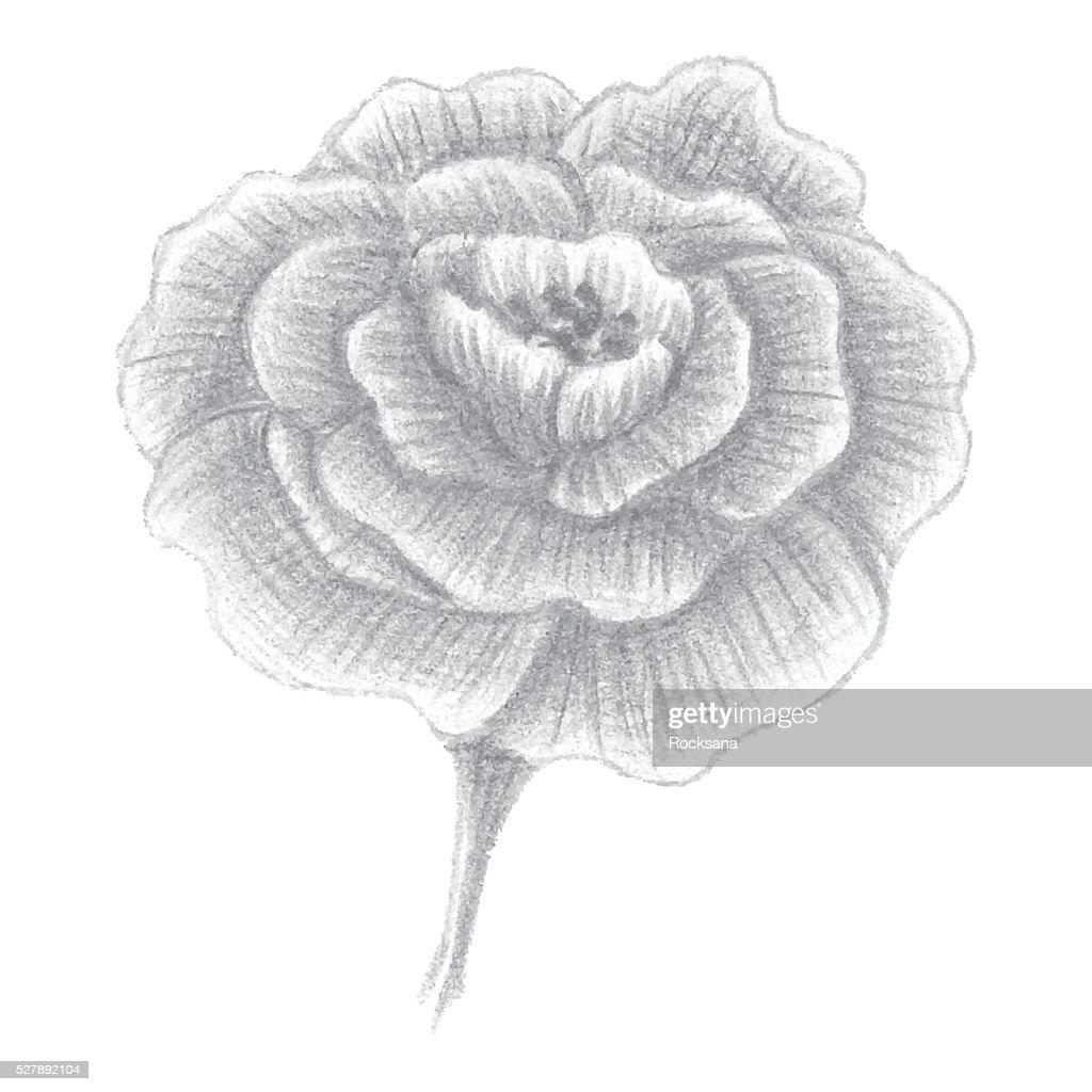 Hand drawn portulaca, blossomed flower, vector illustration