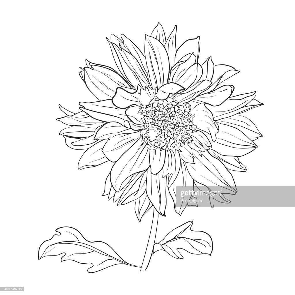 Hand Drawn Realistic Dahlia Flower Vector Art Getty Images