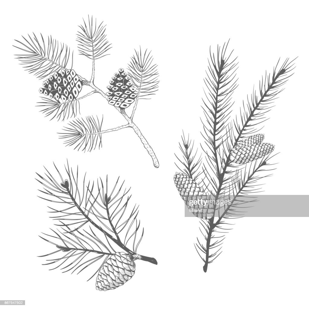 Hand drawn set of fir and pine branches. Vector illustration.