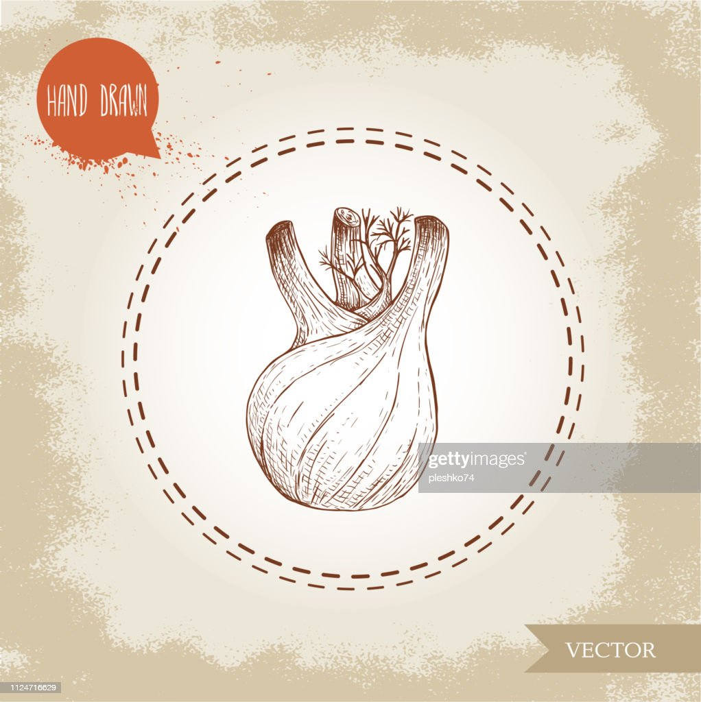 Hand drawn sketch fennel bulb. Spicy root plant with leaves. Herbs, spice and condiment vector illustration isolated on white background.