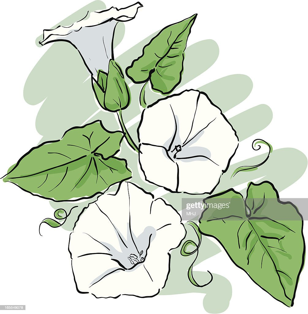 Hand Drawn Sketch of White Bindweed