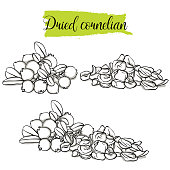 Hand drawn sketch style Cornelian set. Single, group fruits, dried Dogwood.