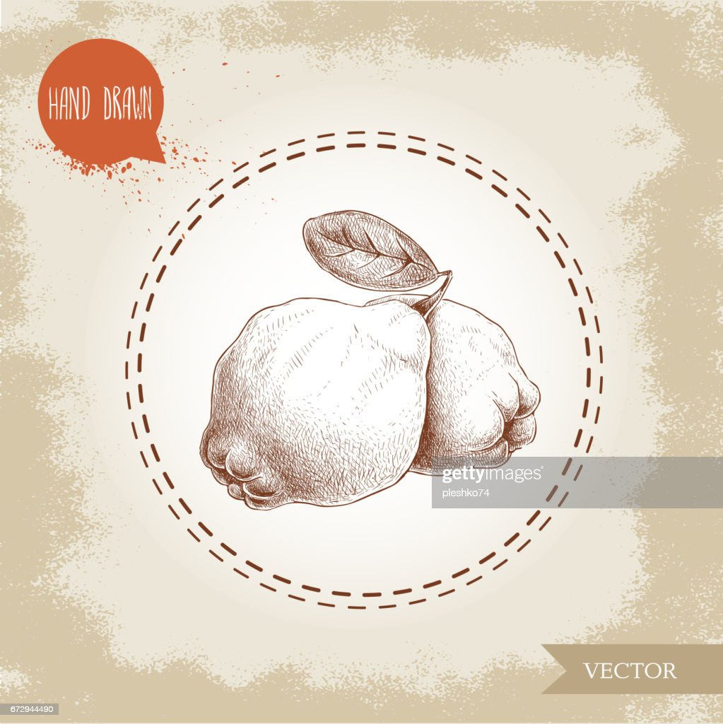 Hand drawn sketch style illustration of quinces with leaf.