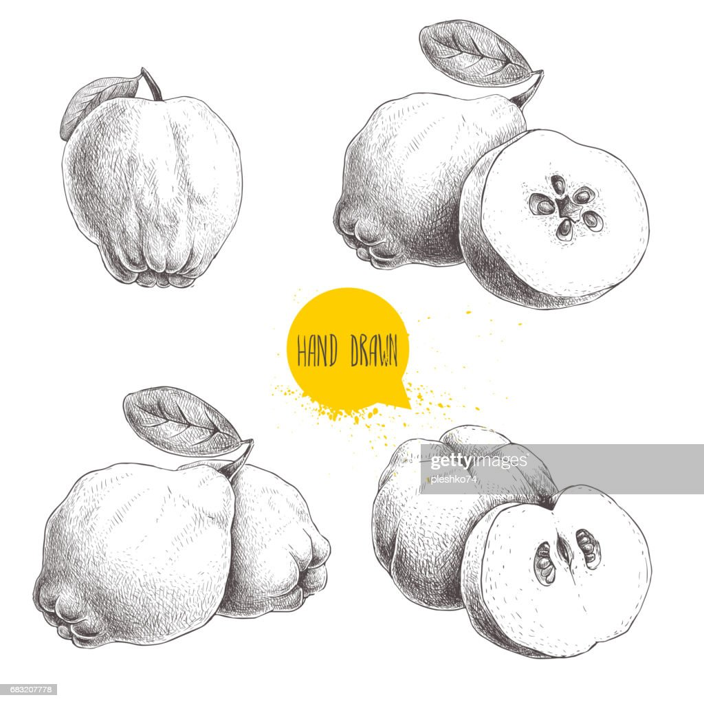 Hand drawn sketch style set of quinces. Quince apple with leaf, group of quinces and sliced quince. Eco fruit vintage vector illustration