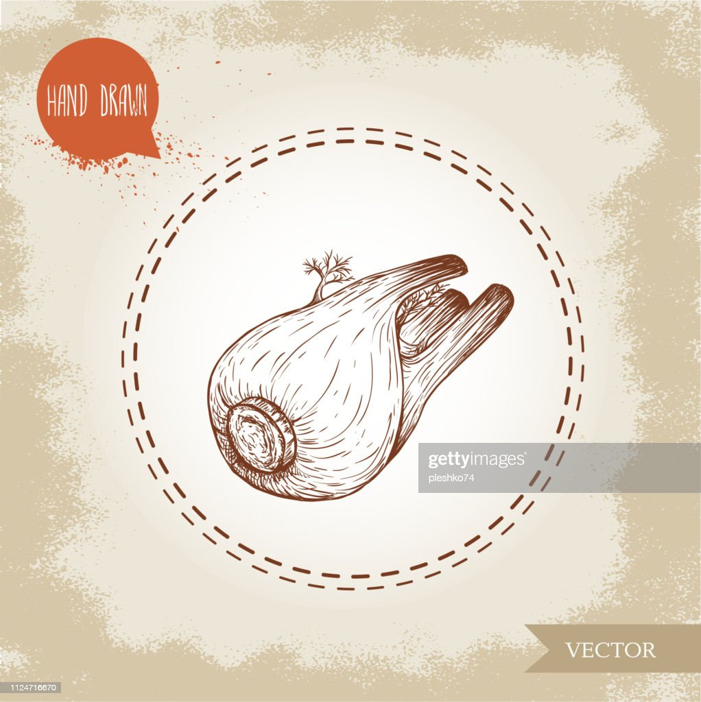 Hand drawn sketch whole fennel bulb. Spicy root plant with leaves. Herbs, spice and condiment vector illustration isolated on white background.