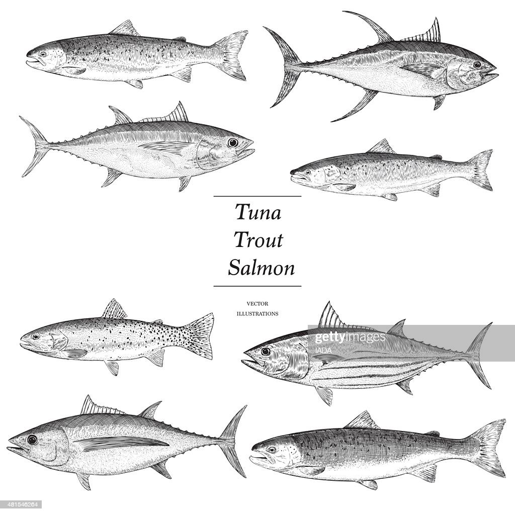 Hand Drawn Trout, Salmon and Tuna