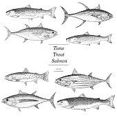 Hand Drawn Trout, Salmon and Tuna
