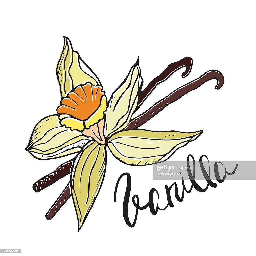 Hand drawn Vanilla flower and pods. Vector illustration