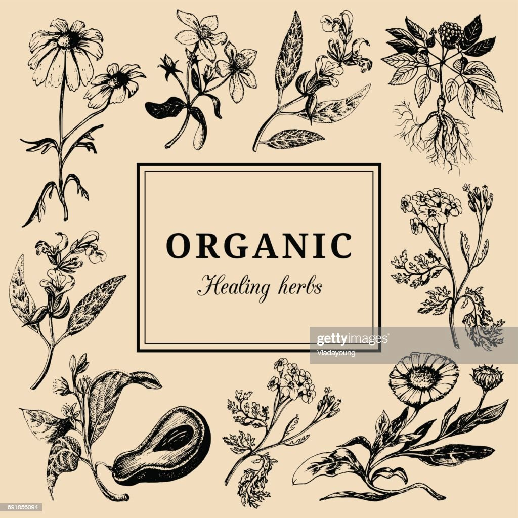 Hand drawn vector herbs. Officinalis, cosmetic plants sketched illustrations. Vintage floral card or poster.