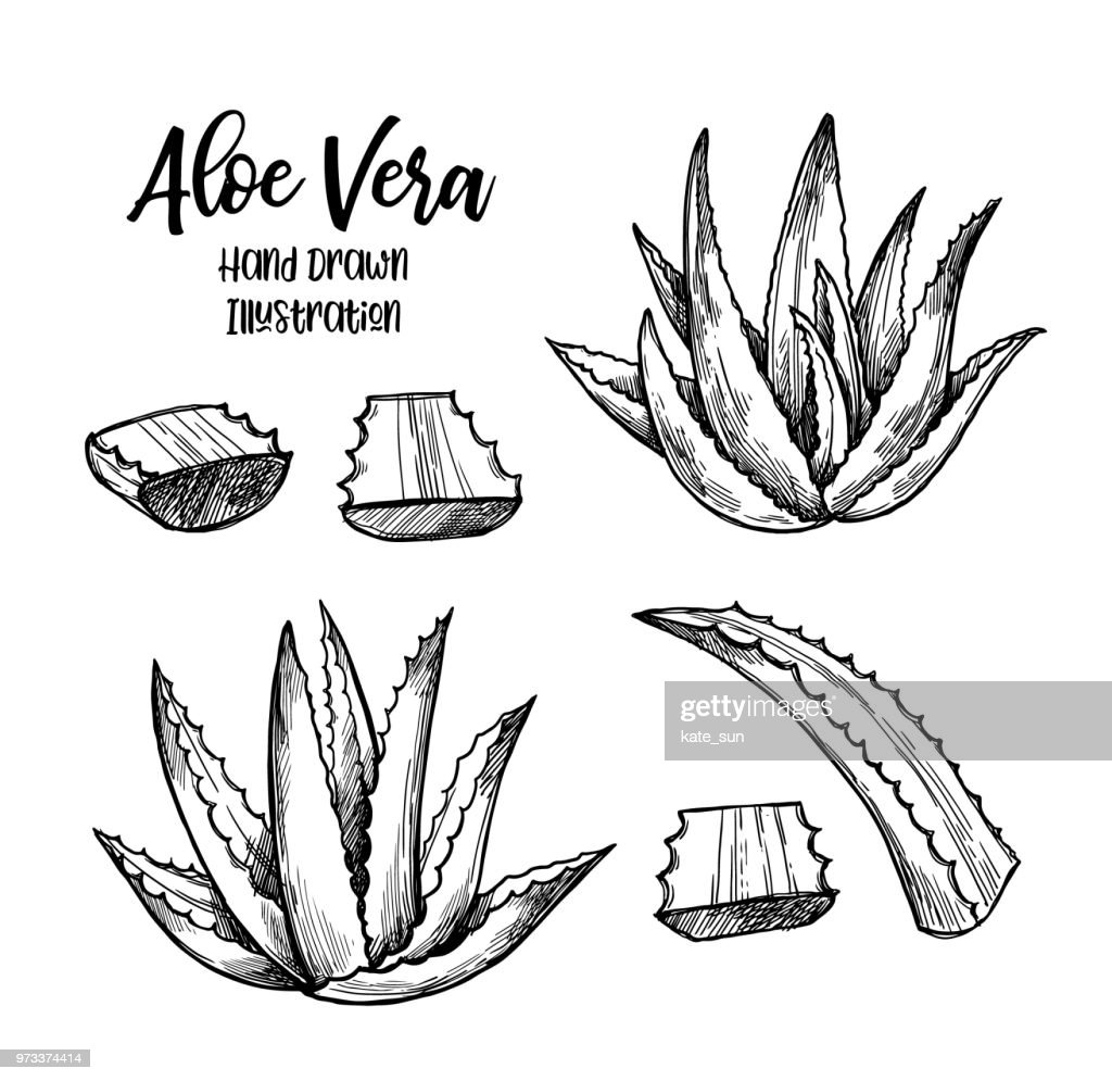 Hand drawn vector illustration. Aloe vera. Herbal plant. Clipart in sketch style. Perfect for cosmetics labels, invitations, cards, leaflets etc