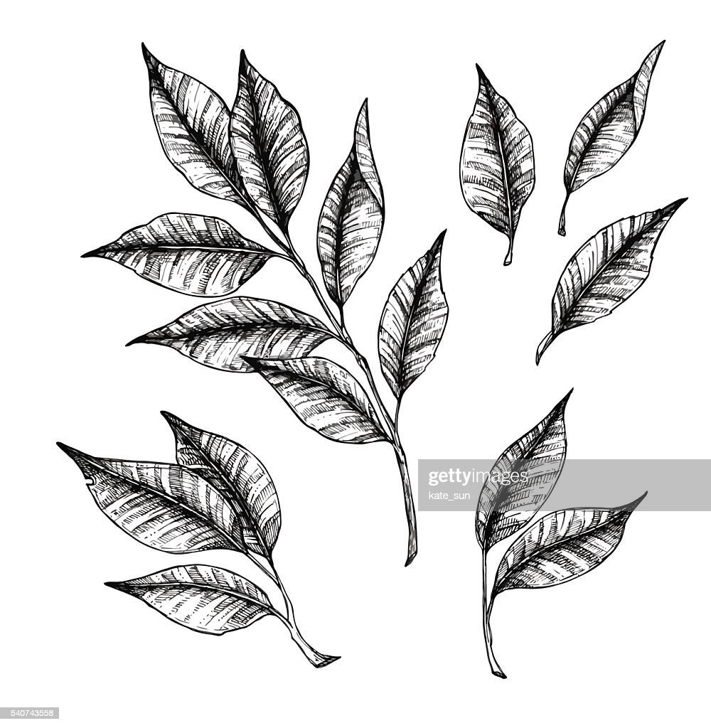 Hand drawn vector illustration - branch with leaves. Floral set.
