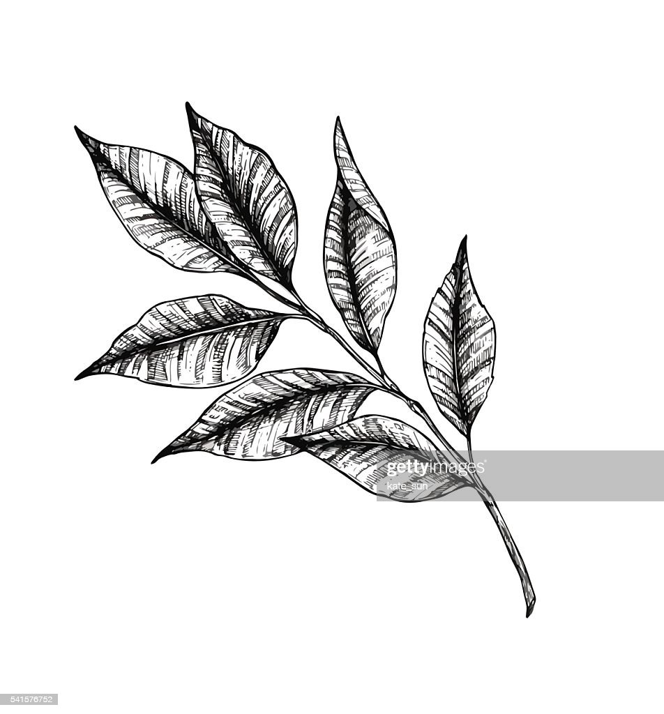 Hand drawn vector illustration - branch with leaves. Tattoo