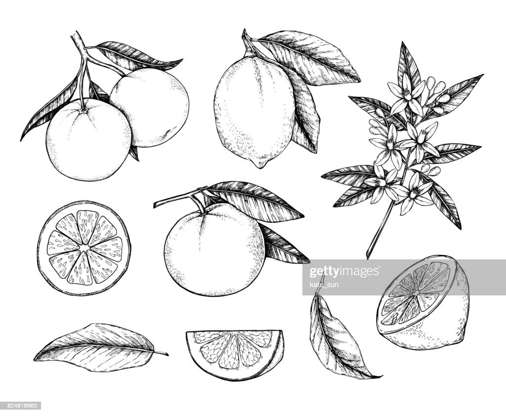 Hand drawn vector illustration - Collections of Lemons and Oranges. Branches with citrus fruits. Flowering plant with leaves. Perfect for packing, greeting cards, invitations, prints etc