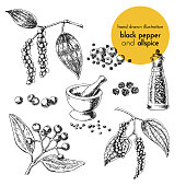 hand drawn vector illustration of herbs and spices. Vintage graphic set illustration of black pepper and allspice