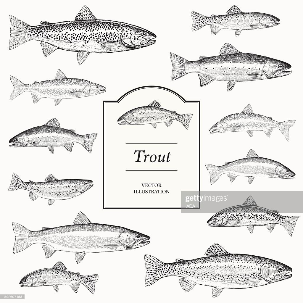 Hand Drawn Vector Illustrations of Trout