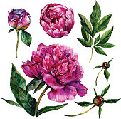 Hand drawn watercolor peonies collection