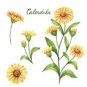 Hand drawn watercolor vector botanical illustration of calendula, marigold.