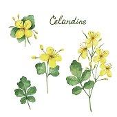 Hand drawn watercolor vector botanical illustration of celandine.