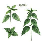 Hand drawn watercolor vector botanical illustration of nettle.