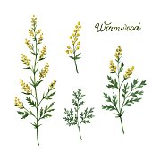 Hand drawn watercolor vector botanical illustration of wormwood.