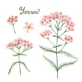 Hand drawn watercolor vector botanical illustration of yarrow.
