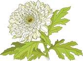 Hand drawn white chrysanthemum