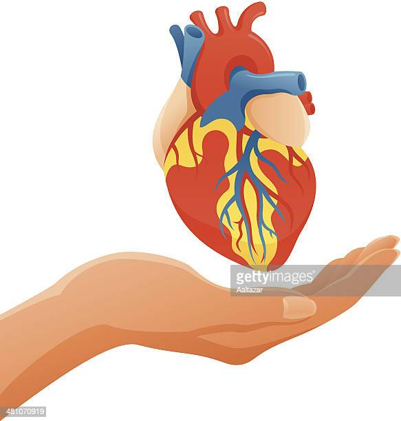 hand holding anatomic heart - coronary artery stock illustrations, clip art, cartoons, & icons