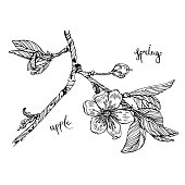 hand-drawn apple blossom, with a flower branch, cherry, sakura, inscription.