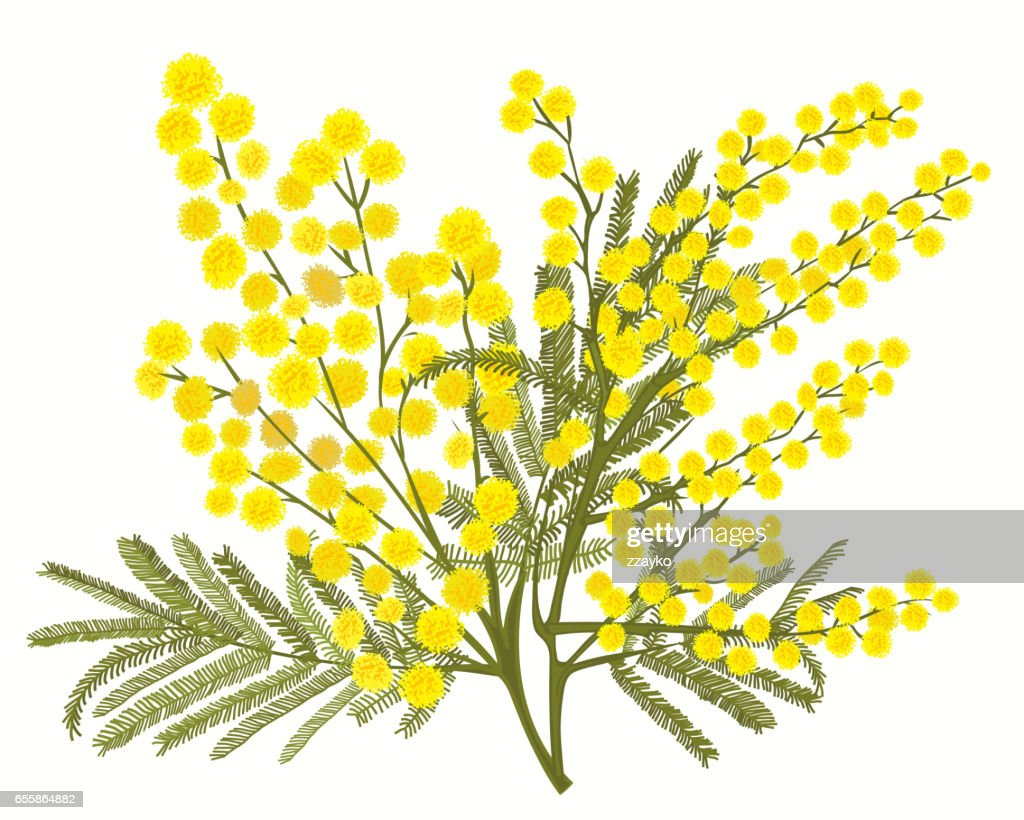 Hand-drawn branch of mimosa isolated on white background
