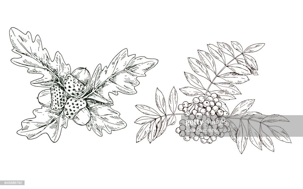 Hand-drawn contour rowan branch with red berries and oak leaves and acorns. Vector