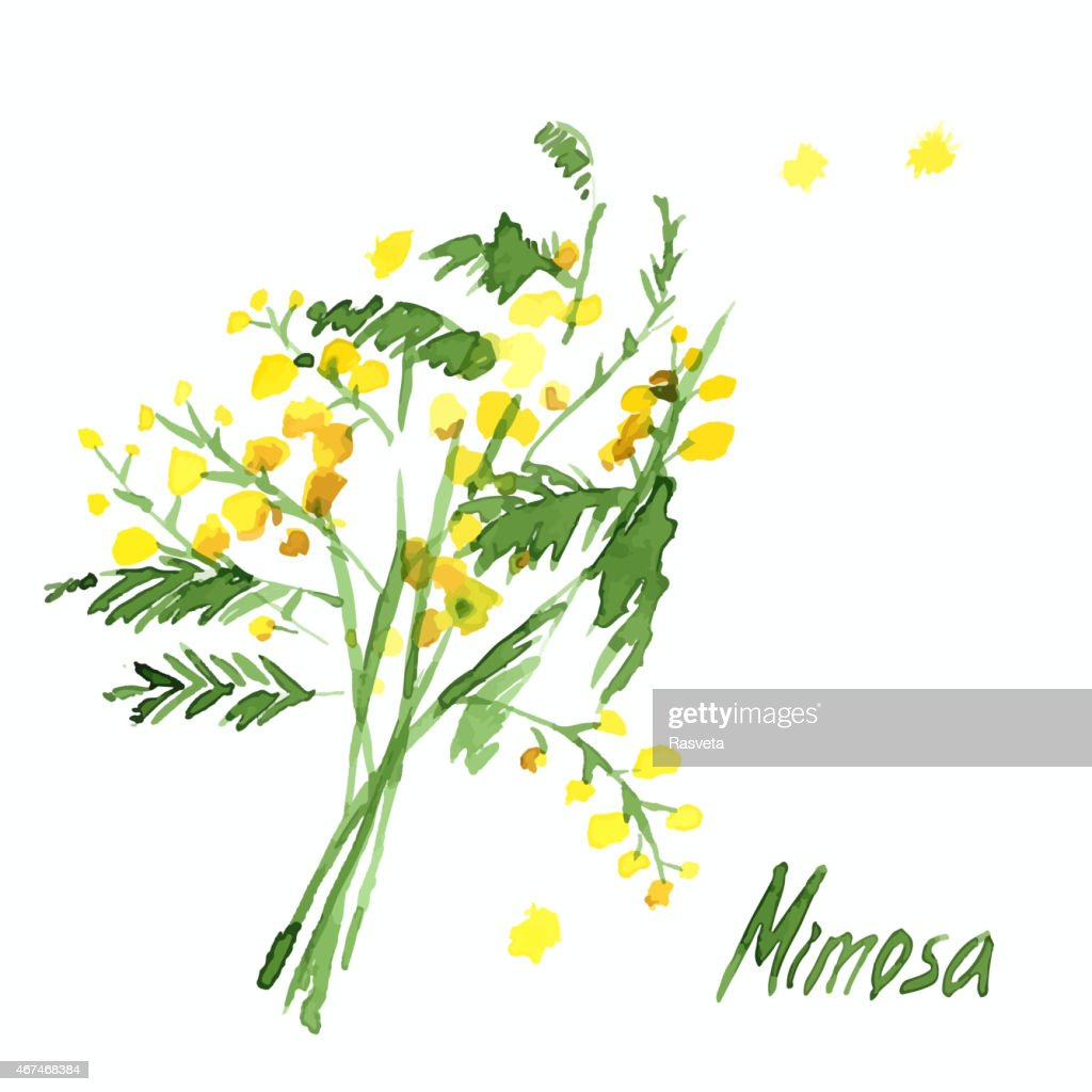 Hand-Drawn Mimosa, Painted in Watercolor