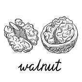 Hand-drawn walnut sketch isolated on white.