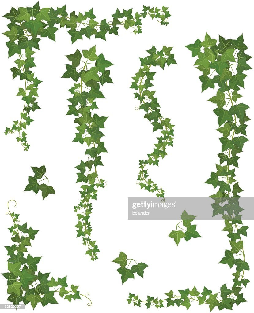 Hanging branches of ivy. Set